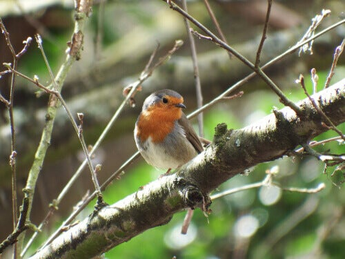 The European Robin: A Bird with Charisma
