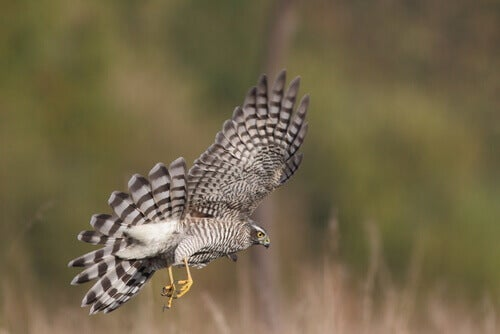 A sparrowhawk swooping down to the ground.
