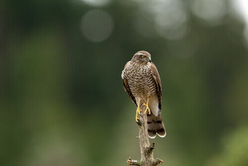 Characteristics and Behavior of the Eurasian Sparrowhawk