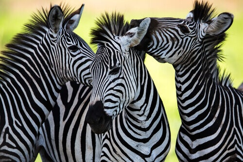 The Amazing Color and Patterns of Zebra Fur