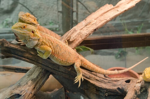 Two captive iguanas.