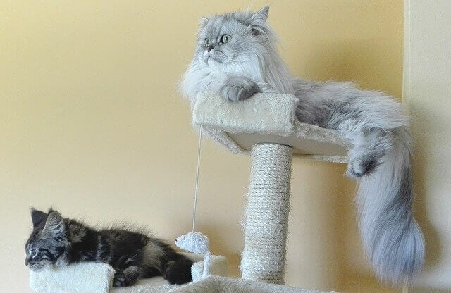 Two persian cat breeds