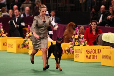 The Westminster Kennel Club Dog Show: Cruel and Outdated?