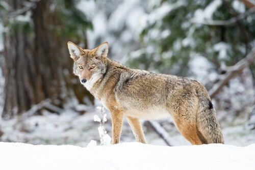 A coyote in a snowy forest.