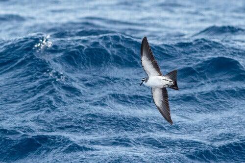Zino's petrel in flight.