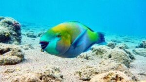 A parrotfish swimming in the ocean.