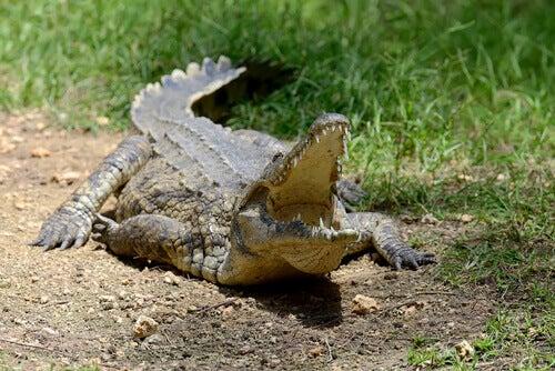 A big crocodile opening its mouth.