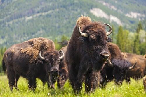 American bison grazing.