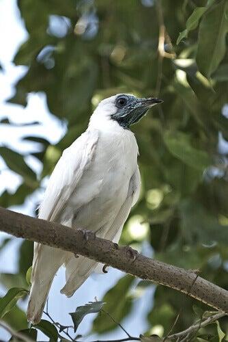 A Paraguayan bell bird.