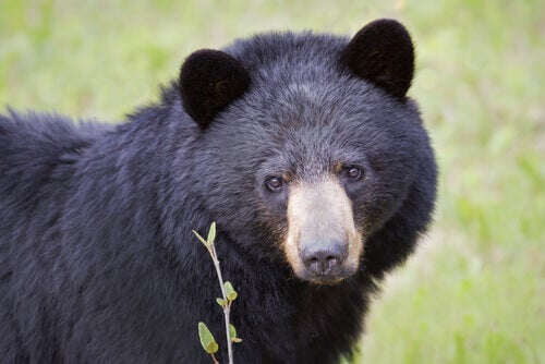 Meet The American Black Bear: Characteristics and Habitat