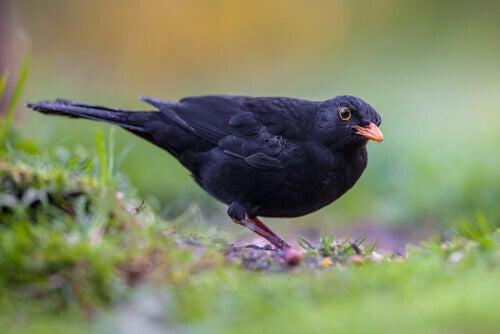 A blackbird looks for food.
