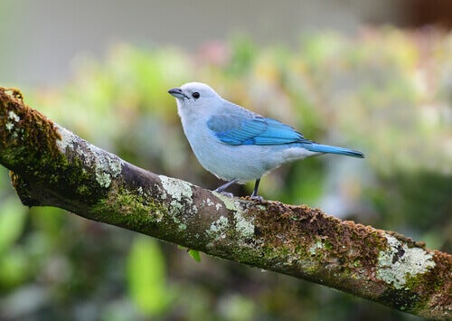 A common bird species of blue gray tanager.