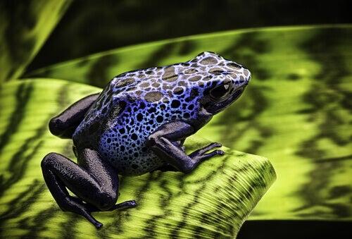 Blue poison dart frog on a leaf.