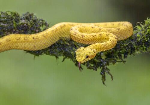 An eyelash viper on a branch.