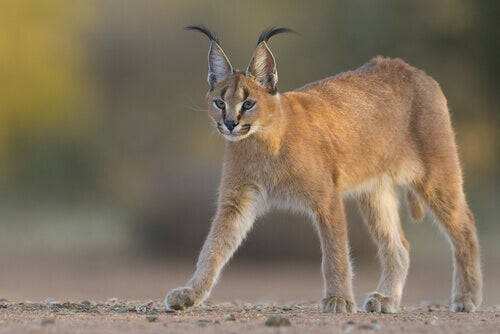 A caracal with its ears pricked up..