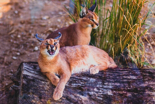 Two caracals resting on a log.