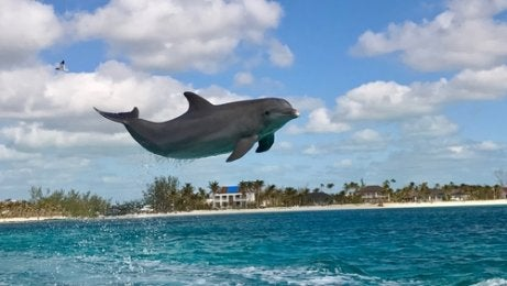 Dolphins jumping.