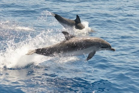 Dolphins swimming.