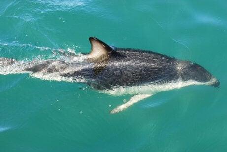 Dusky dolphin.