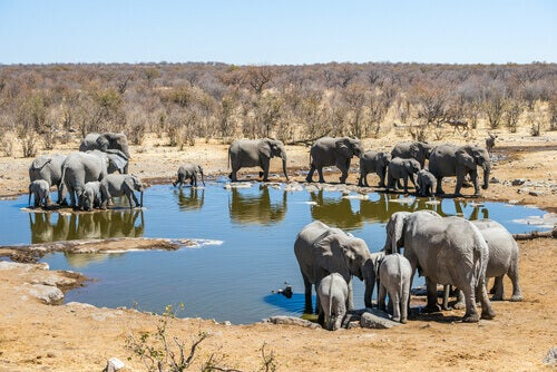 A group of elephants in a national park in Africa.