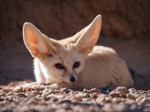 Desert fox or fennec fox.