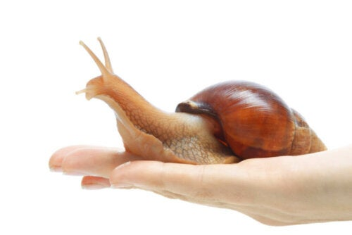 The Giant African Land Snail in Captivity