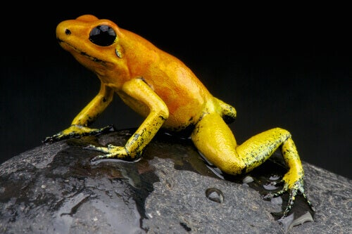 Golden poison dart frog is the most poisonous frog species in the world.