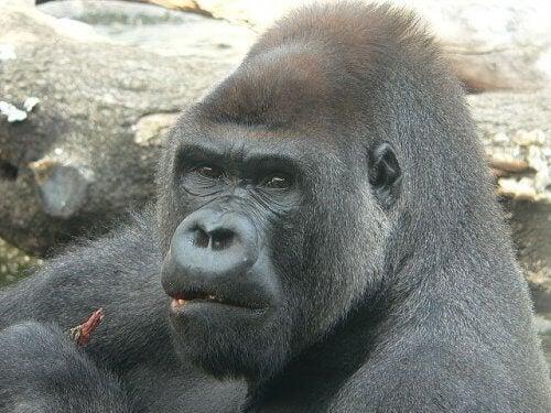 A gorilla up close.