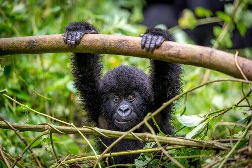 A small gorilla in virunga park.