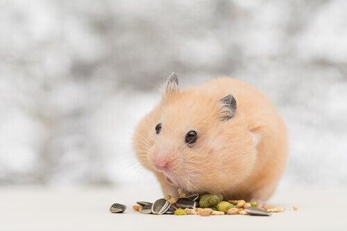 A hamster feeding.