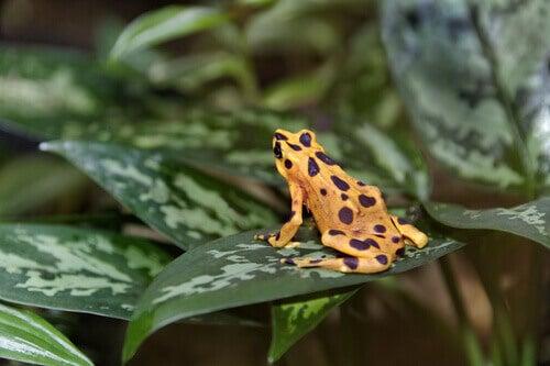 Harlequin poison frog in danger of extinction.