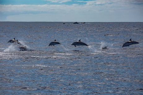 Jumping dolphins.
