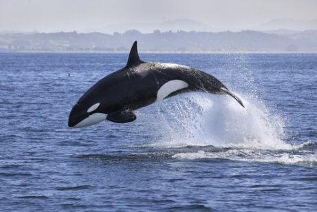 A killer whale.