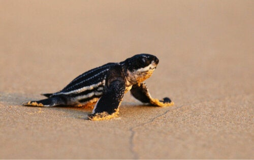 Leatherback Sea Turtle Hatchlings: Why Do They Become Disoriented?