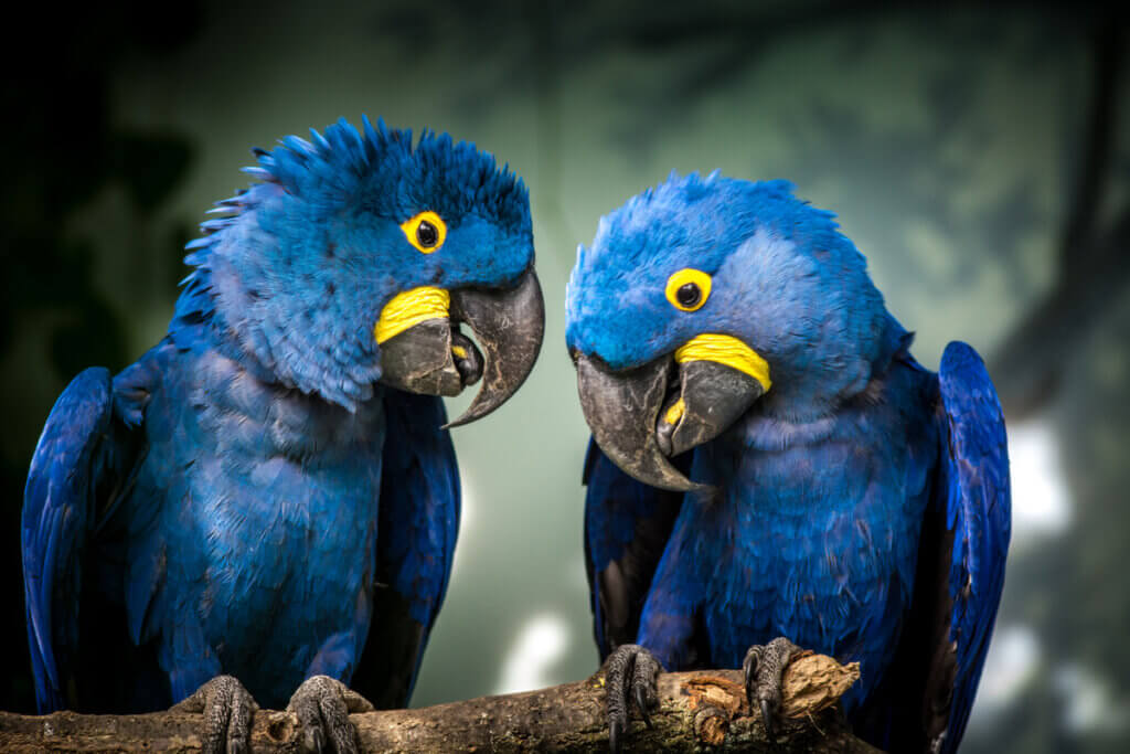 8 Interesting Facts About the Hyacinth Macaw