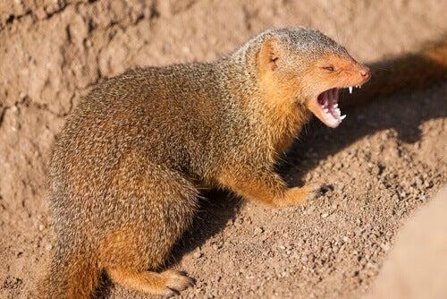The Characteristics, Habitat, and Behavior of the Mongoose