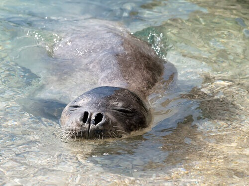 A monk seal swimming in shallow water.