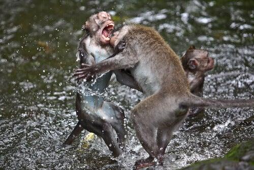 Monkeys fighting in the water.