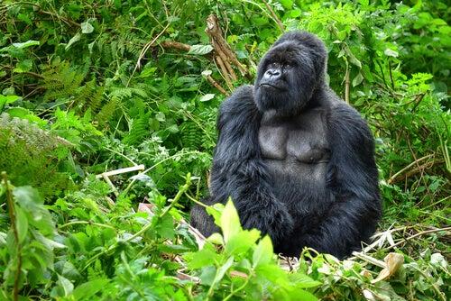 A mountain gorilla in the jungle.