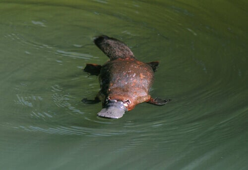 A platypus swimming.