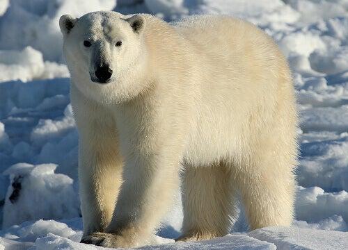 A polar bear on ice.