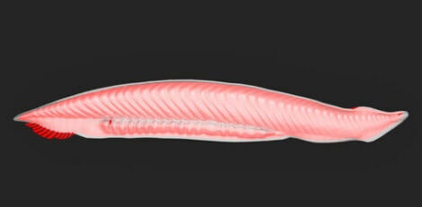 Protocercal tail.