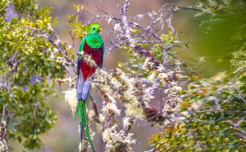 A beautiful quetzal sitting on a branch.