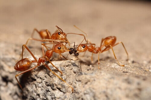 Red fire ants.