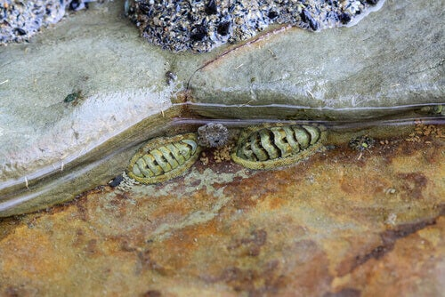 Two chitons at the sea.