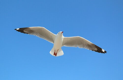 A seagull in flight.