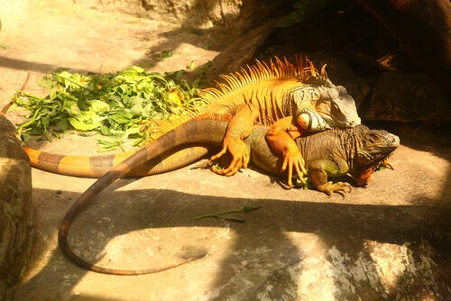 All About the Reproduction of the Common Green Iguana
