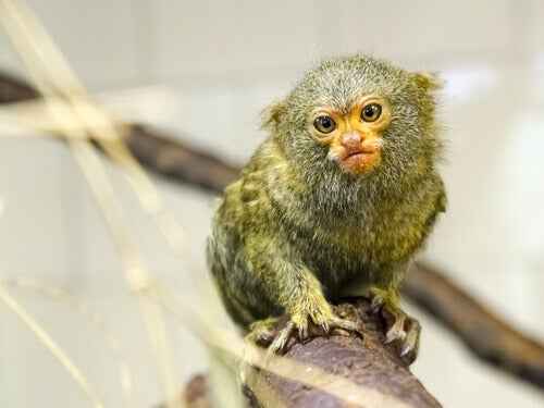 Discover the 5 Smallest Primates