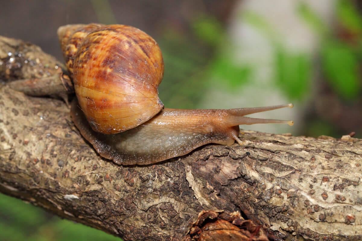 An Achatina snail on a branch.
