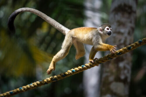 Squirrel monkey: behavior.